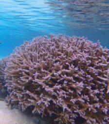 8月28日の誕生石のモモ珊瑚